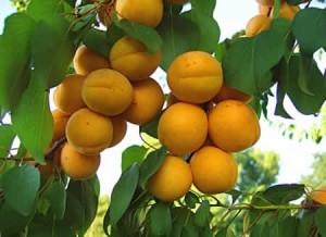 Как растет абрикос