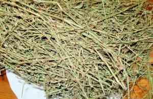 Сухая трава спорыш