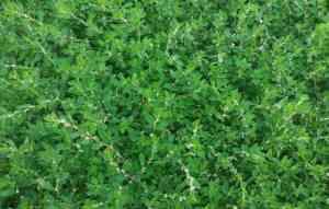 Трава спорыш