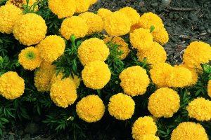 Бархатцы желтые