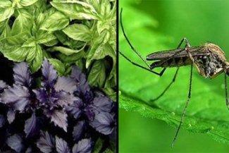 5 растений, которые помогут избавиться от комаров