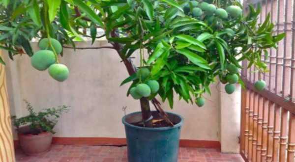 Манго - выращивание в домашних условиях
